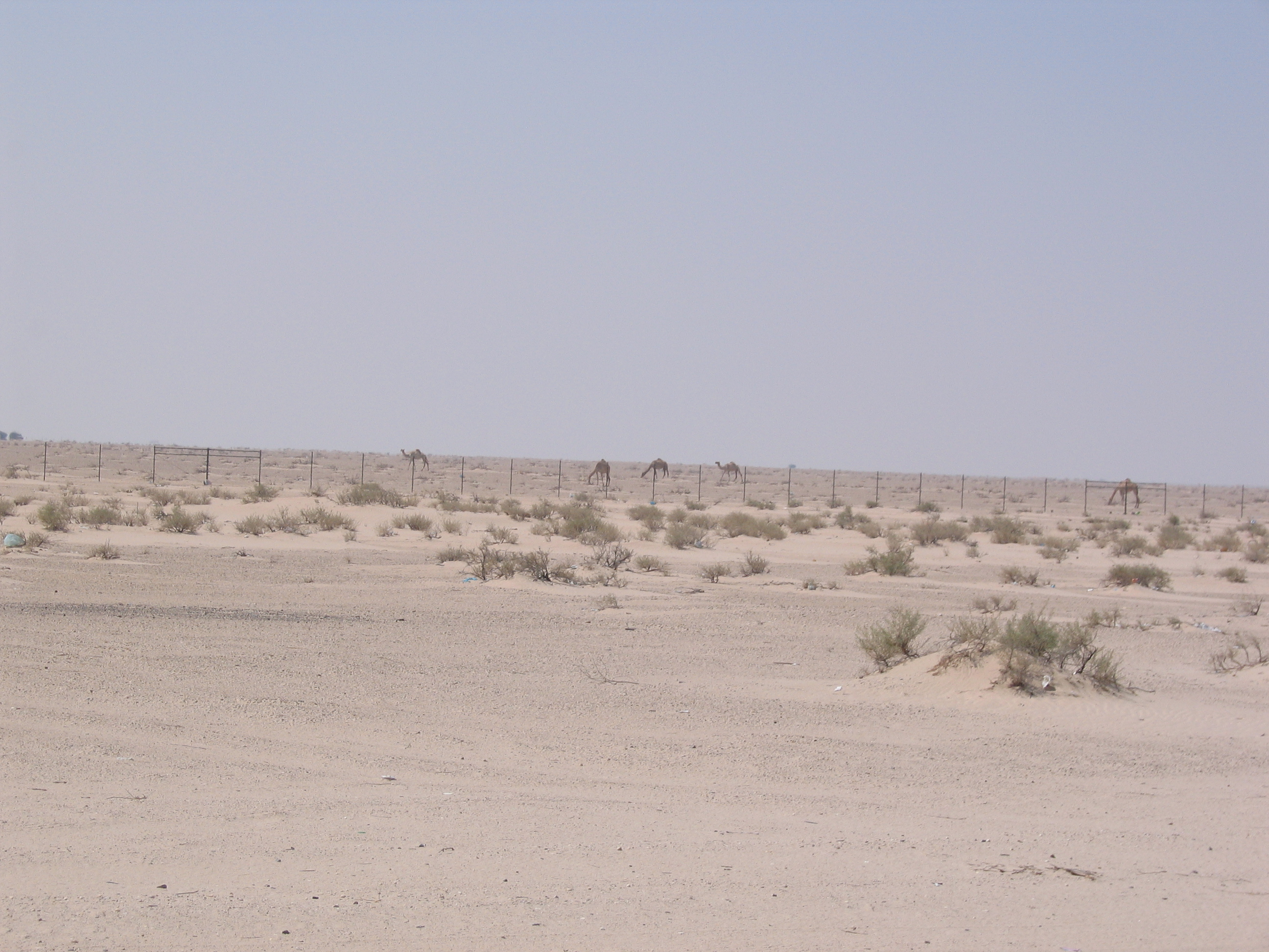 siteseeing 003.jpg - Camels in the dessert